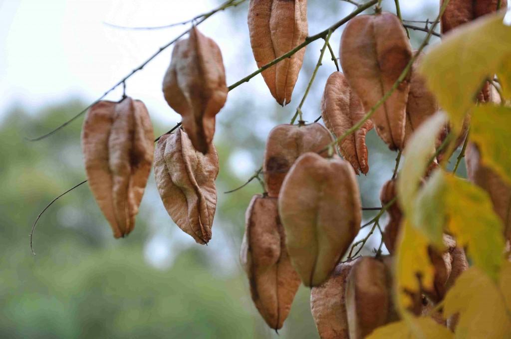 De blåsformade frukterna är ett bra kännetecken för koelreuterian.