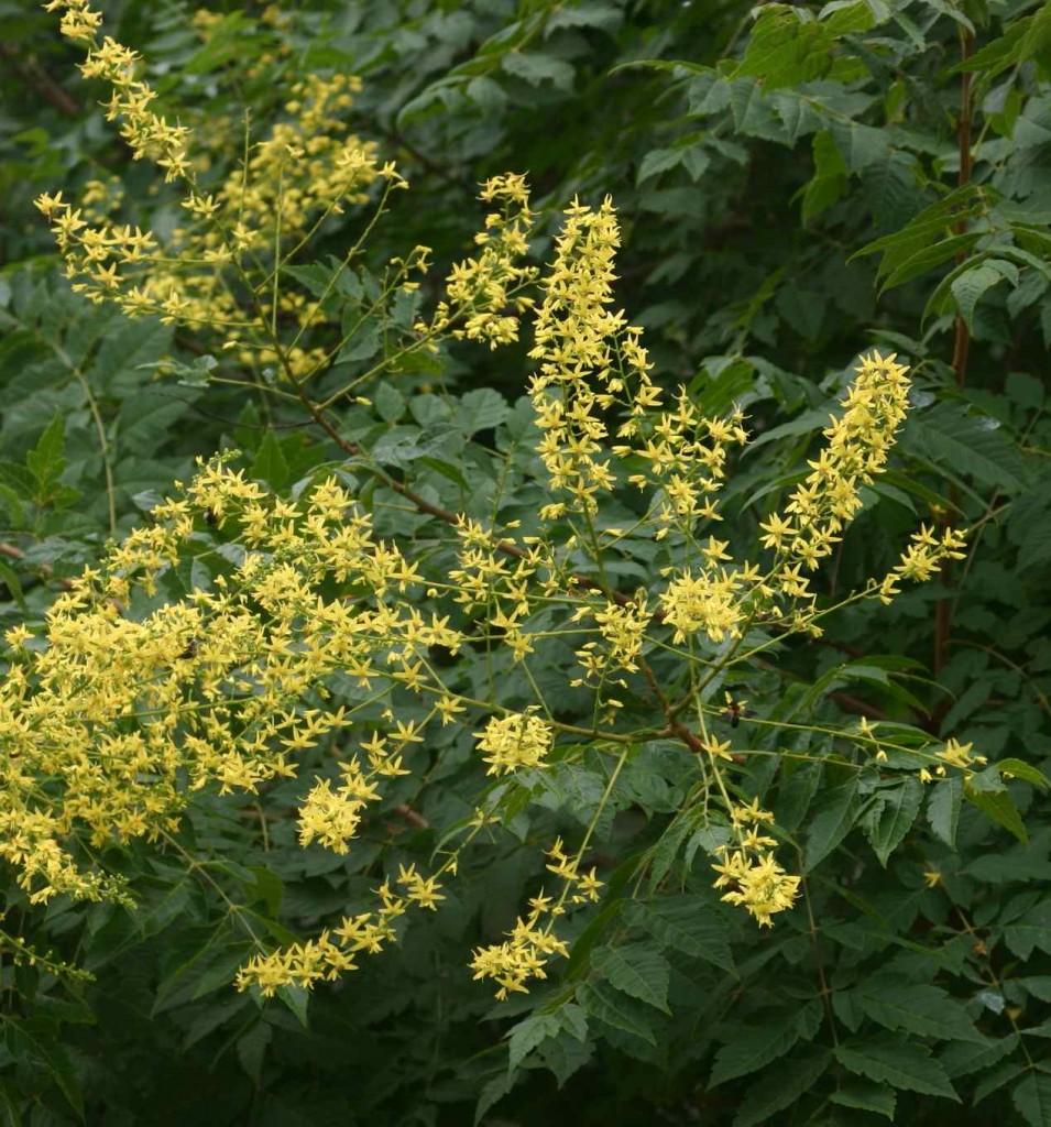 Den breda och yviga blomställningen hos koelreuteria ger växten ett exotiskt utseende.