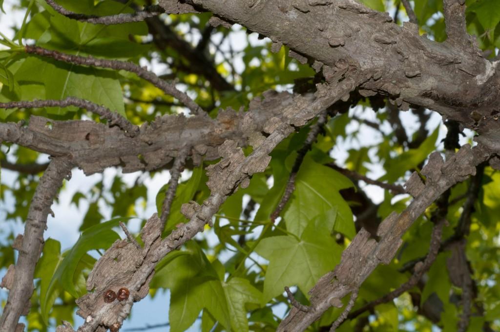 Ambraträdets bark är starkt fårad och grå med kraftiga korklister.