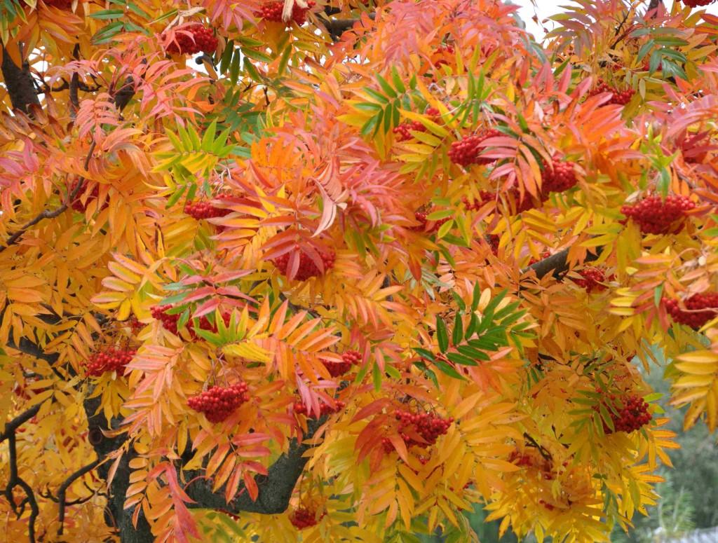 Höstfärgen hos rönnen Dodong är lysande orangeröd.