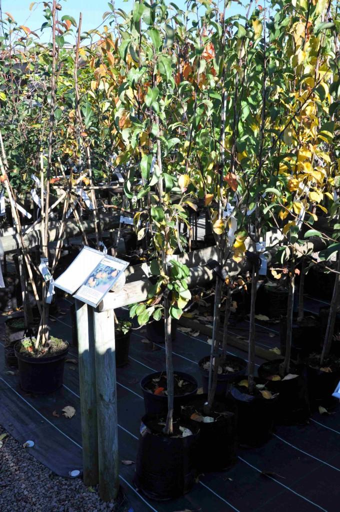 Fruktträden mår bra att planteras på hösten.