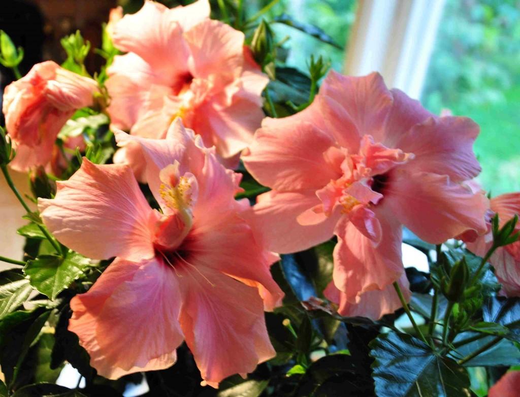 Rosafärgad hibiscus med rött svalg blommar rikligt både inne och ute om sommaren.