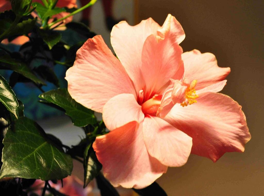 Hibiscus ska helst stå svalt över vintern för att inte riskera bladfall.