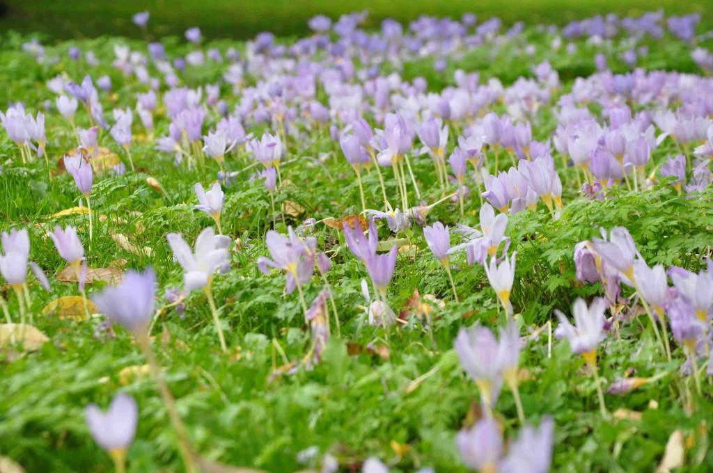 Tidlösan växer på subalpina ängar och steniga bergssluttningar i södra och östra Europa samt i mellanöstern.