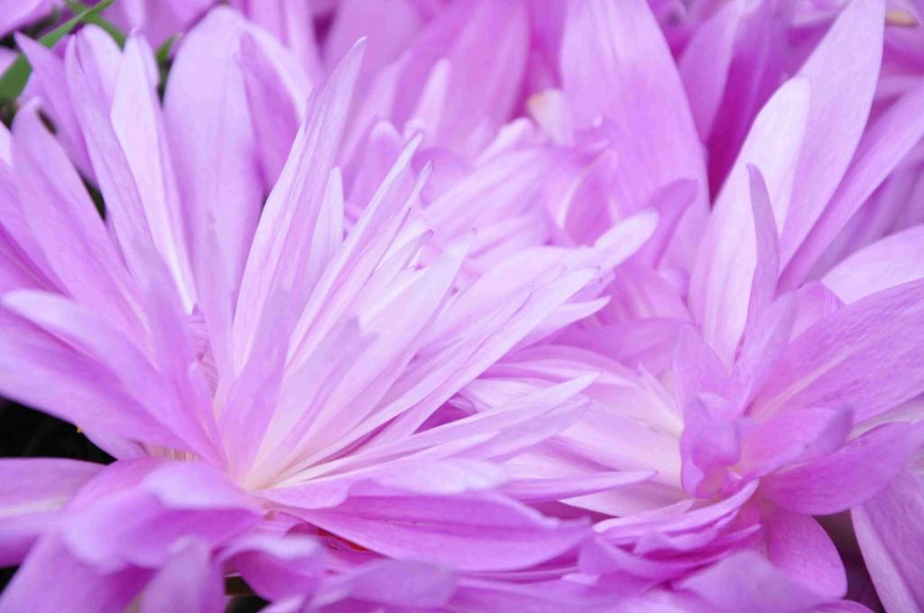 Tidlösan vilar under sommaren och börjar blomma på hösten.