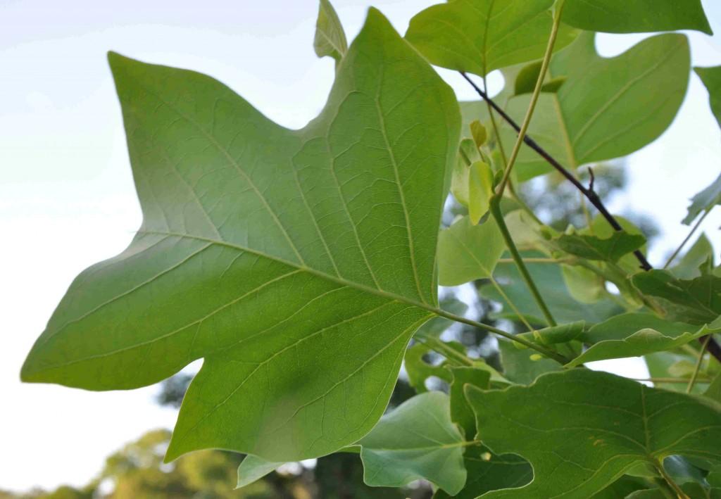 Tulpanträdet mår bäst av vårplantering.