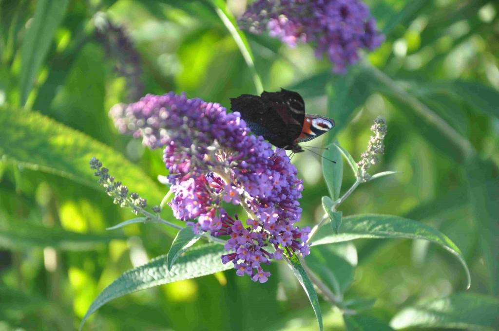 Syrenbuddlejan är en växt som är lättförökad via vintersticklingar.
