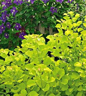 Gulbladig perukbuske är en utmärkt kontrastväxt mot mörkare bladverk.