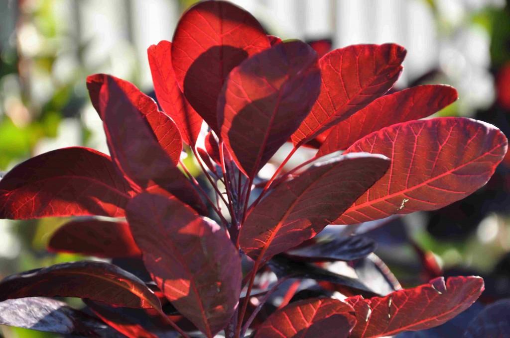 Rödbladig perukbuske trivs i soligt läge och varm jord.