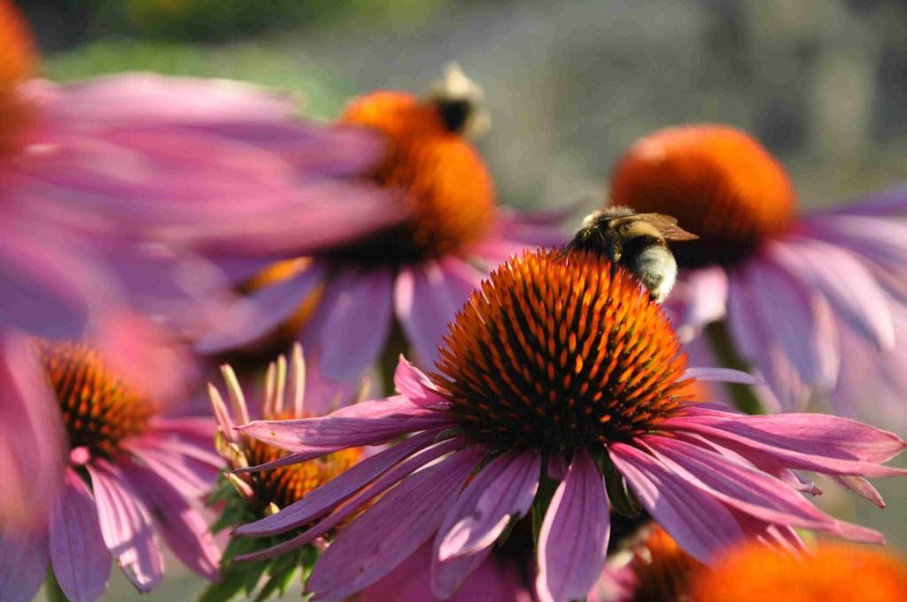 Solhatten är en riktig insektsväxt som samlar mängder av humlor och fjärilar.