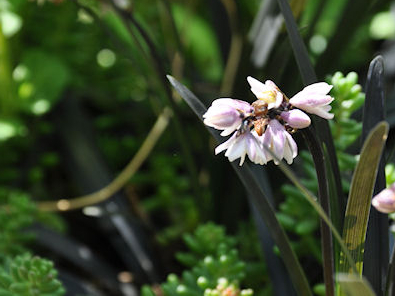 Blomman hos ormskägget är liten och klockliknande.