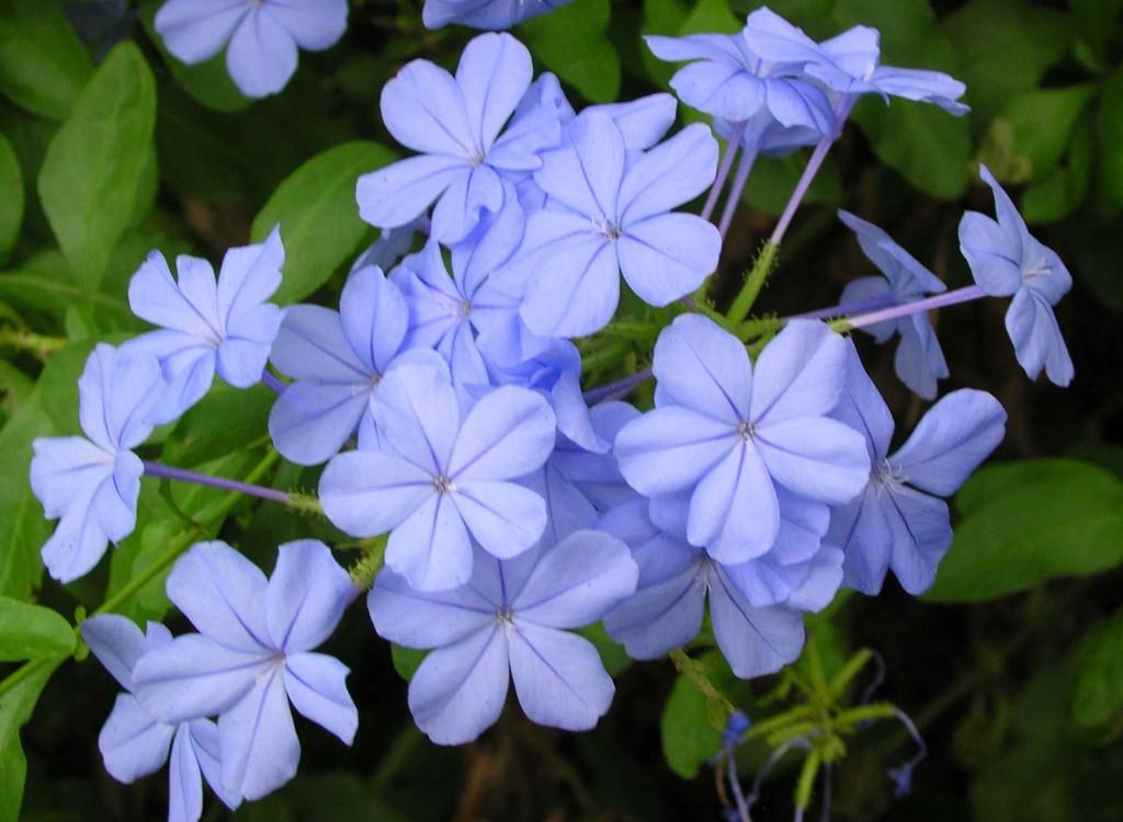 Blyblomman är en rikblommande medelhavsväxt med en stor växtkraft.
