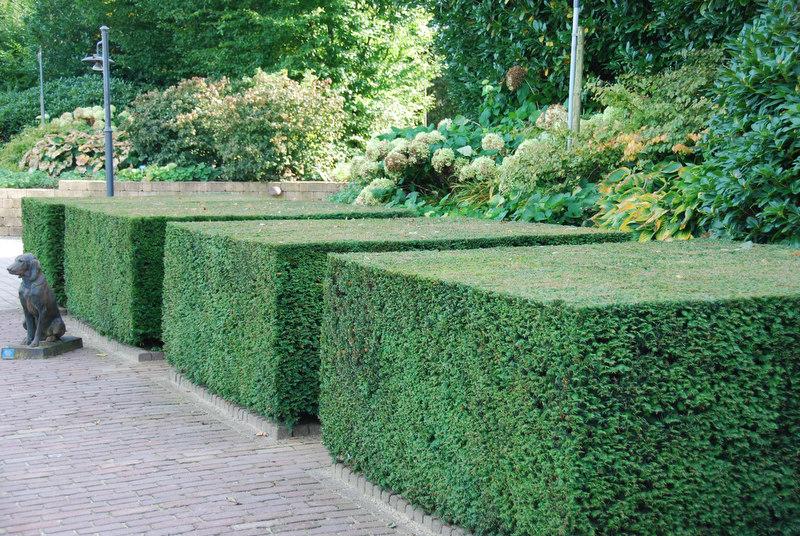 Idegran är en bra växt för häckar och formklippta figurer då den gärna skjuter skott från äldre ved.
