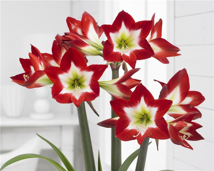 Spännande stjärnmönstrad blomma har amaryllisen 'Tres chic'.