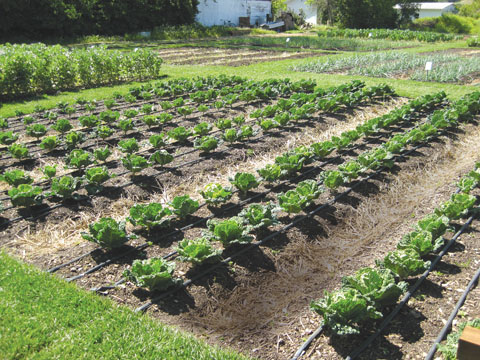 Droppbevattning passar utmärkt för grönsaksodling.