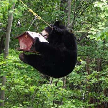 Ekorrar och t o m björnar kan vara glupska gäster vid fågelbordet.