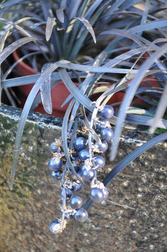 Det mörka ormskägget får svartglänsande bär som sitter kvar länge på plantan.