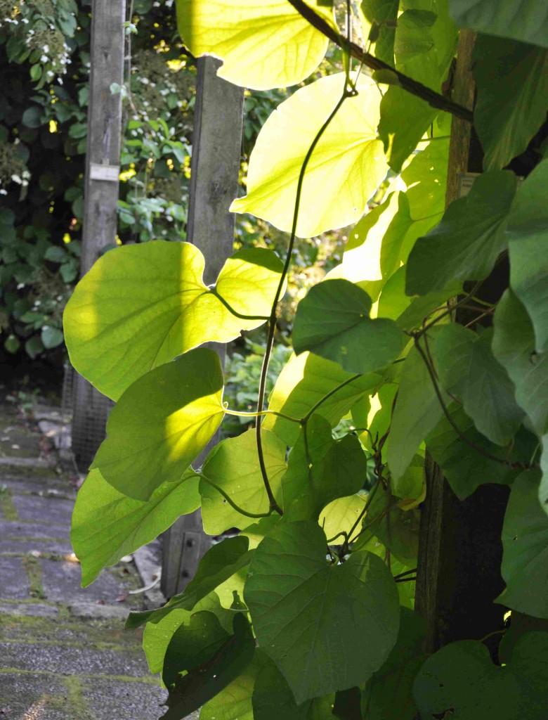 Piprankan är en kraftig klängväxt som blir upp emot 7-8 meter hög.