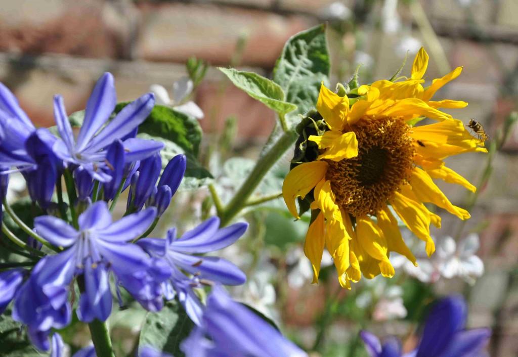 Agapanthus trivs på solig plats i genomsläpplig jord med kräver regelbunden vattning om sommaren.