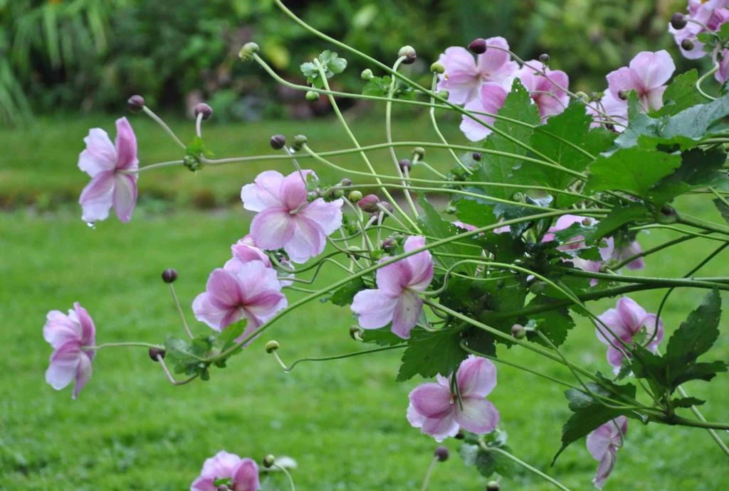 Den silvriga höstanemonen blir gärna lite slängig i växtsättet och kan gärna stödjas upp mot slutet av sommaren.