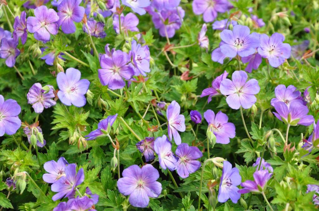 Rikblommande, himmelsblå nävan Rozanne är en utmärkt marktäckande perenn som bildar blå blomhav.