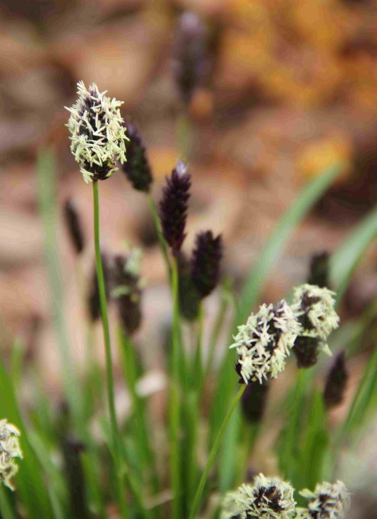 Vårälväxingen har friskt gröna blad och svarta ax som blommar med vitt ludd.