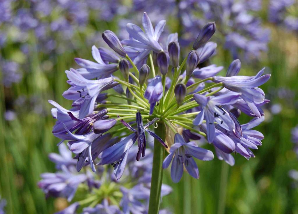 Klockagapanthus finns i många mörkblå sorter, men även med vanliga himmelsblå blommor.