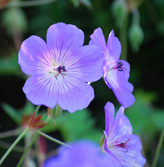 Nävan Rozanne är en korsning mellan två arter från Himalaya och kombinerar stor blomrikedom med ett marktäckande växtsätt.