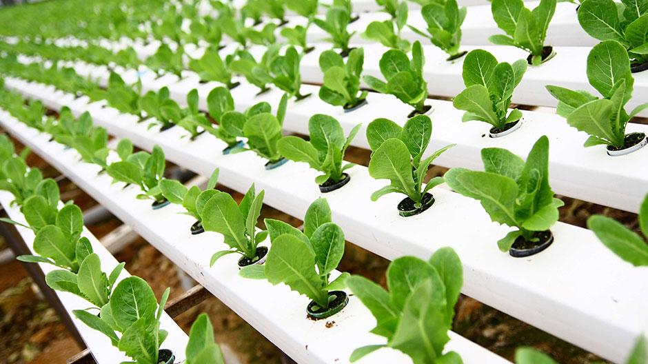Att odla i näringslösning ger många fördelar.
