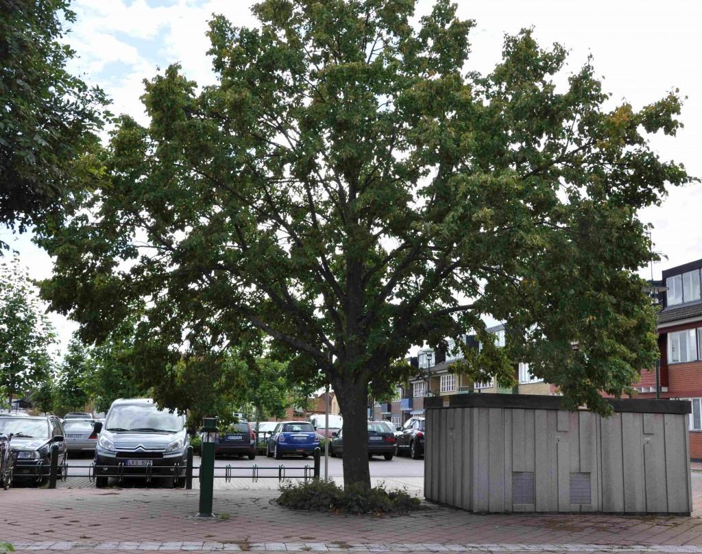 Träd i gatumiljö behöver oftast en högre stamhöjd för att man ska komma inunder dem än träd i en park.