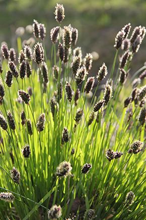 Vårälväxingen är ett perenna gräs som sätter ax redan tidigt om våren.