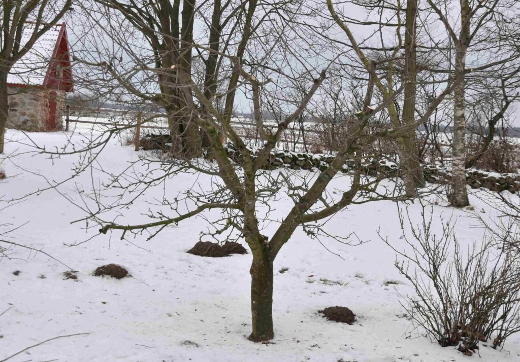 Efter att den grova mittstammen tagits bort fick trädet en helt ny form.