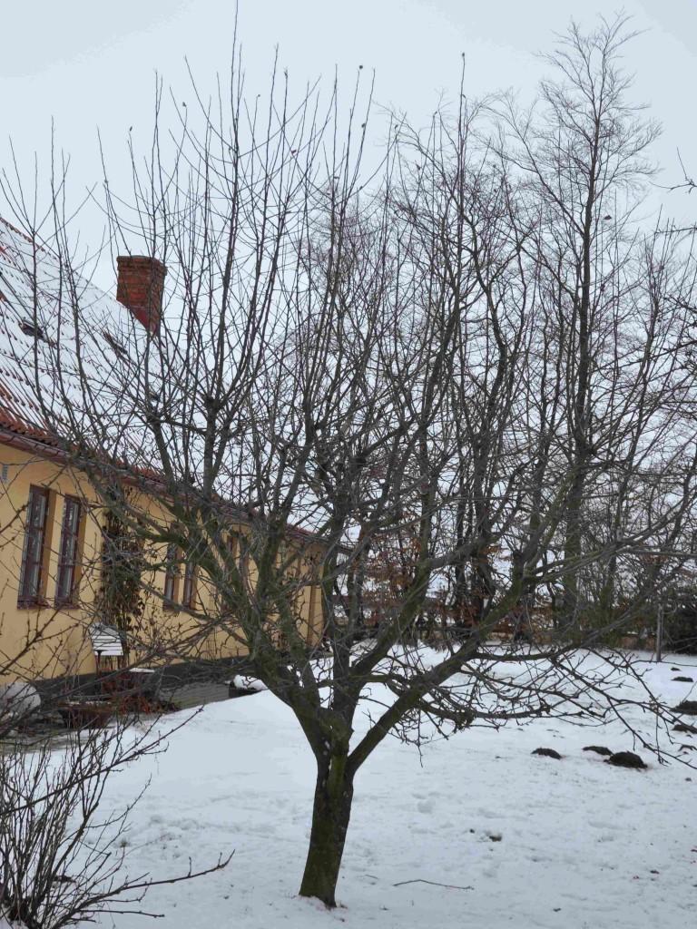 Gallring av grenar hos äppleträd görs gärna nu på vårvintern.