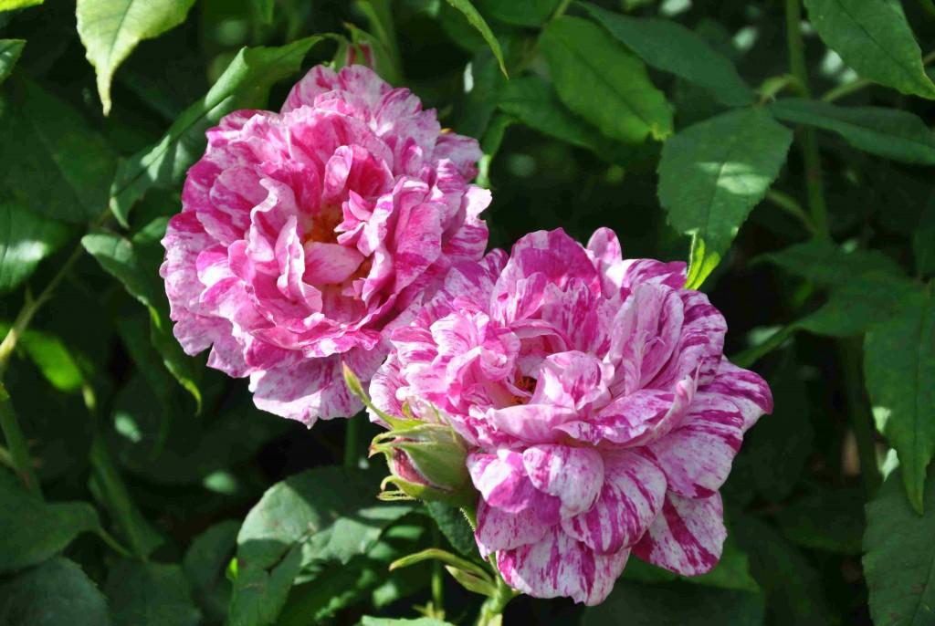 Gammaldags rosor doftar ofta mycket gott.