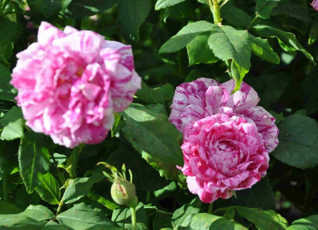 Bourbonrosor har oftast en mycket god doft när rosorna blommar.