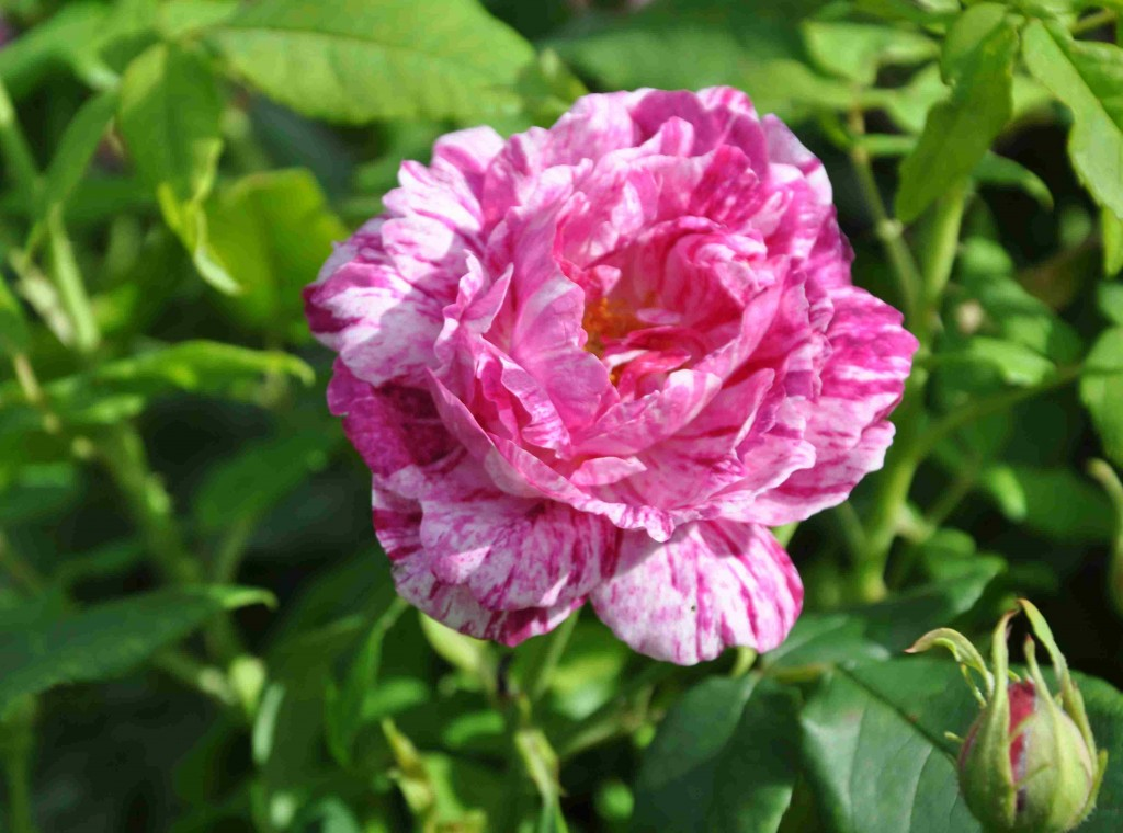 Strimmiga rosor finns det flera av.