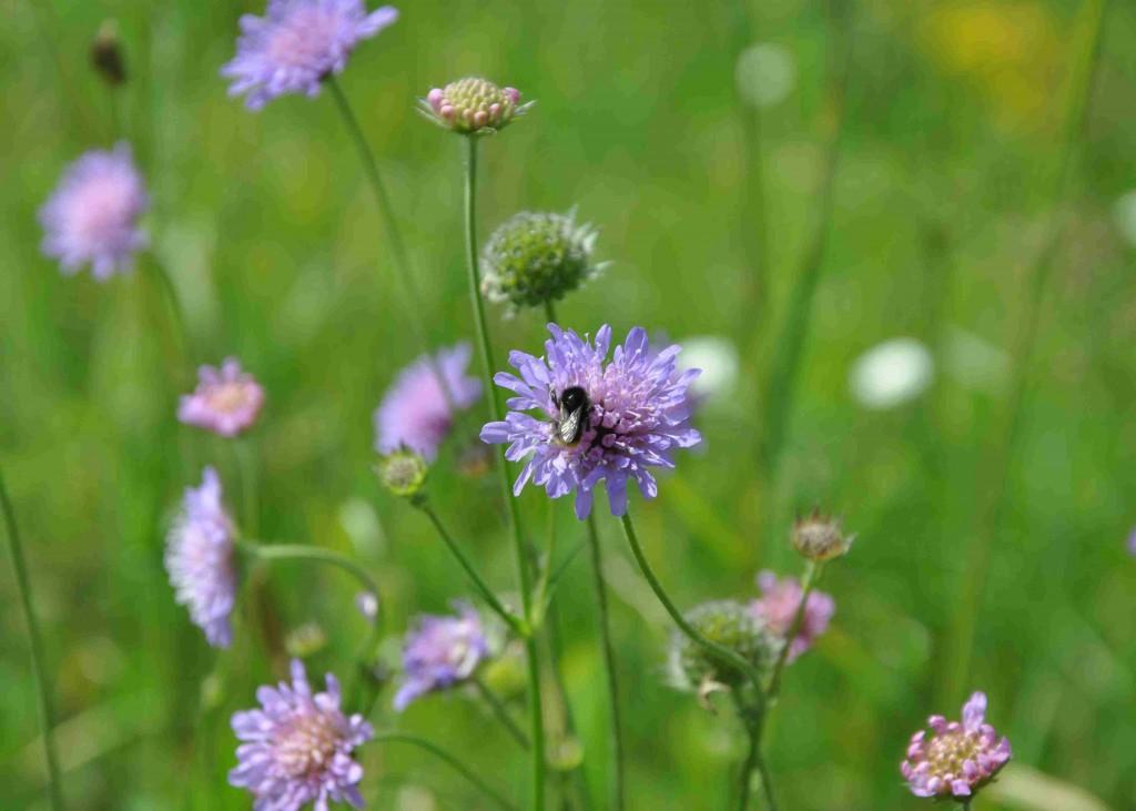 Insekterna älskar väddarna som trivs på sandig mark.