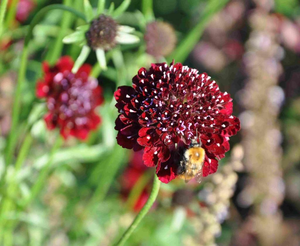 Väddarna drar till sig humlor som söker nektar.