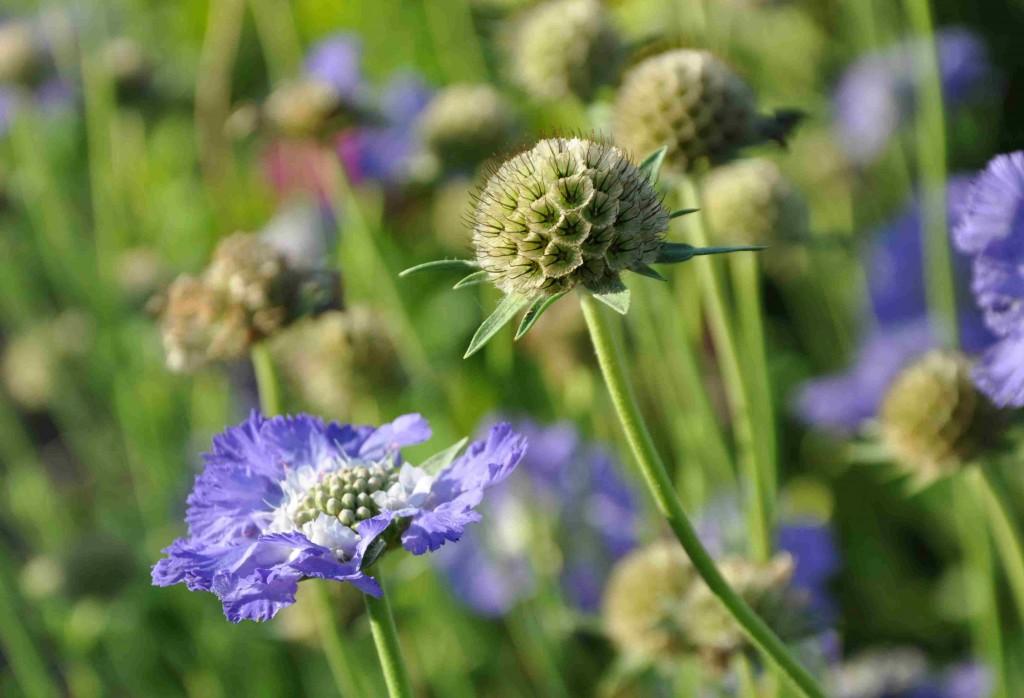 Vädden är en graciös blomma som passar i den torrare rabatten.