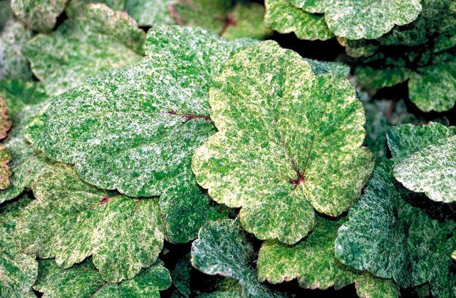 Spräckliga och flerfärgade blad förekommer hos flera arter av spetsmössa.
