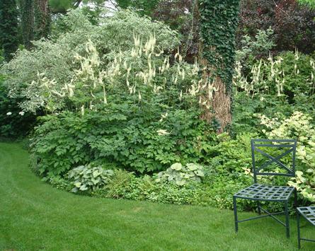 Kandelabersilverax har långa vita blomspiror.