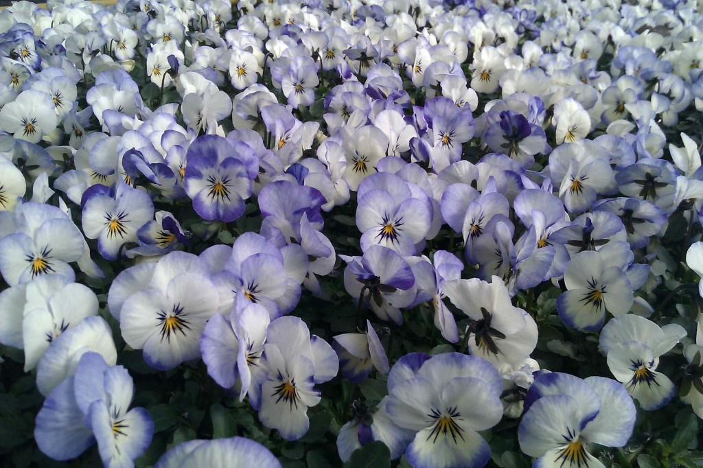 Penséer tål frost och kan planteras ut tidigt om våren.