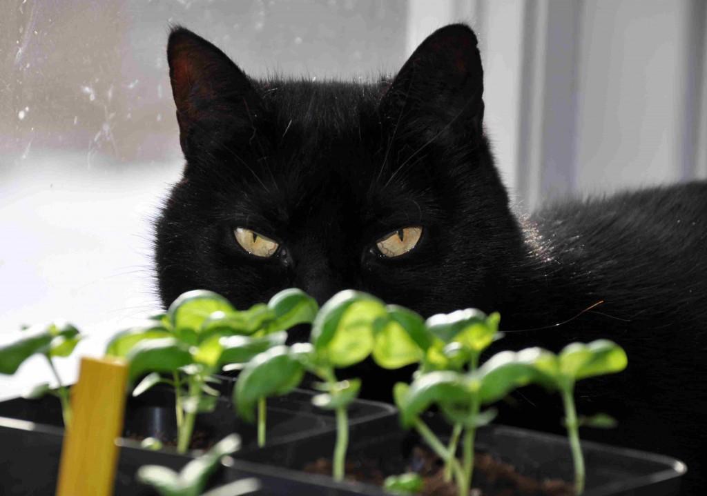 Basilikaplantorna växer snabbt  när man sår dem från frö.
