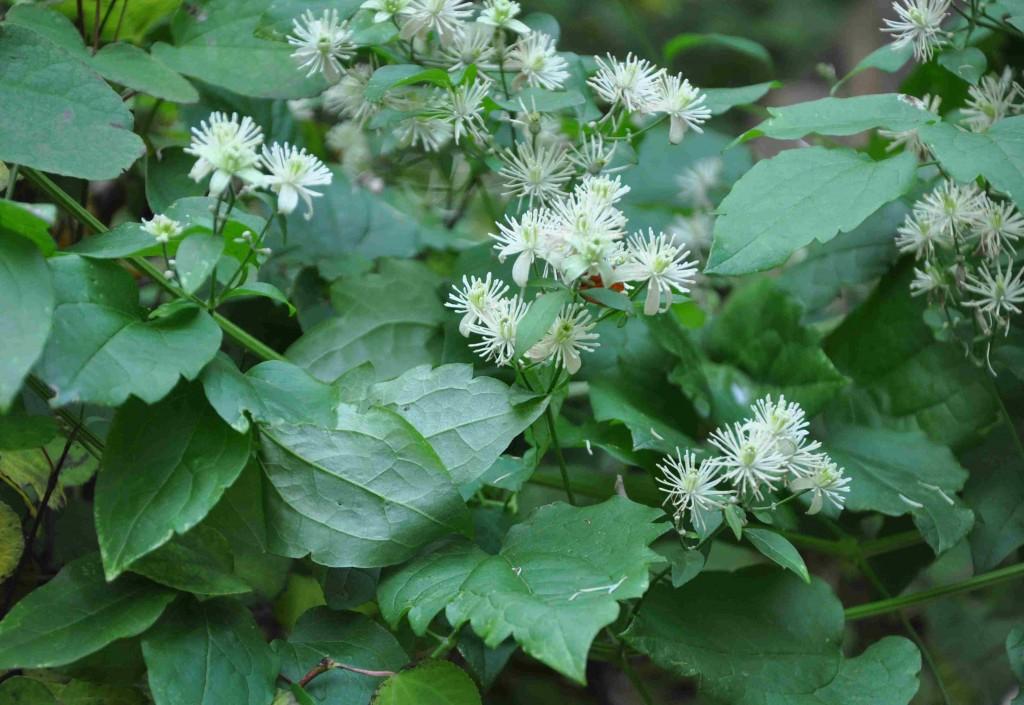 Doftande skogsklematis är en starkväxande lian med små, vita blommor.