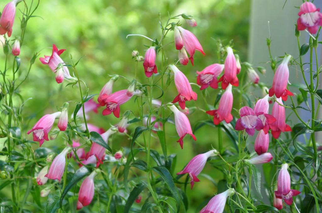 Penstemon finns med blå, rosa och röda blommor.