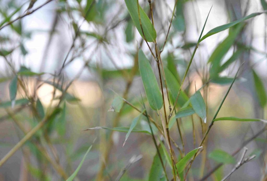 Bambun är egentligen en vintergrön växt, men kan frysa ner om vintern.