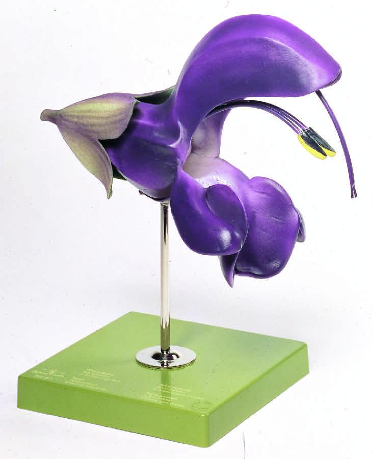 Blomman hos salviaarter har en mycket speciell konstruktion.