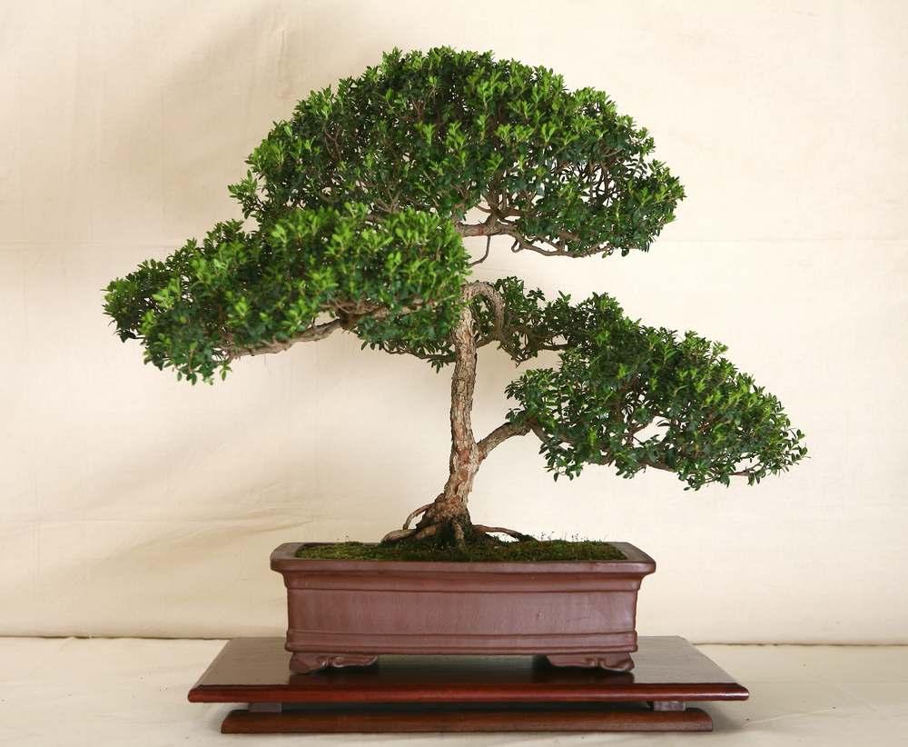 Myrten är lätt att forma till bonsai genom ständig inklippning.
