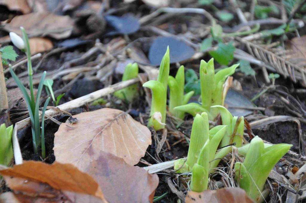 Dagliljan är snabb i starten om våren.