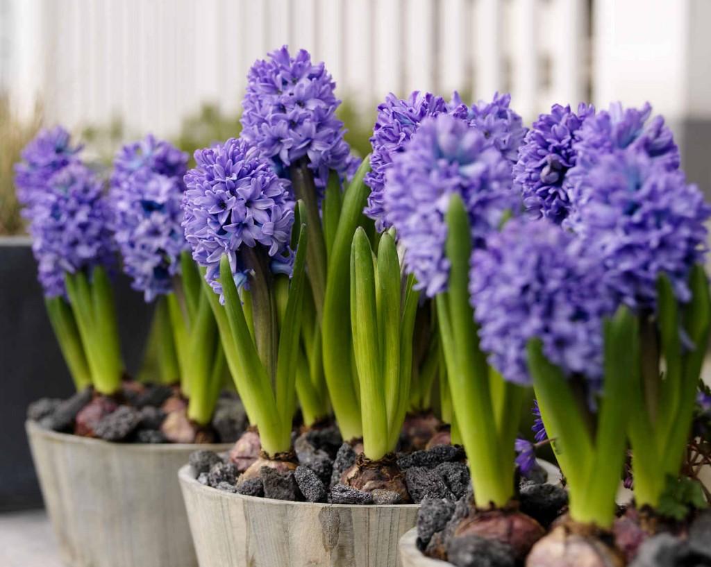 Hyacinternas starka doft blir angenämare om man planterar dem utomhus i rabatt eller kruka.